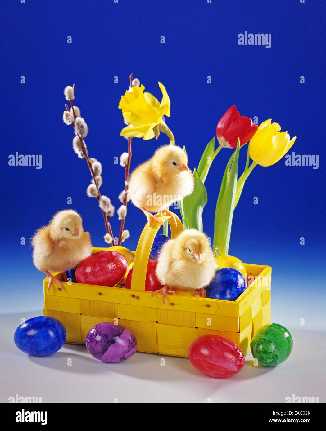 Three chicken chicks sit in a easter basket Stock Photo