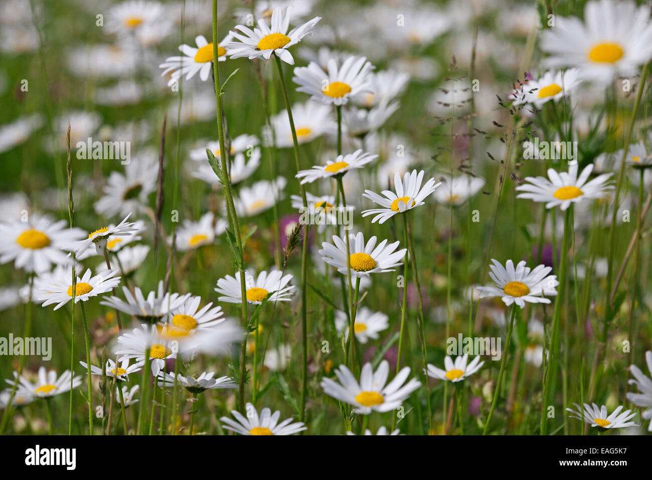 Ox eye daisies / oxeye daisy (Leucanthemum vulgare / Chrysanthemum leucanthemum) in flower in meadow Stock Photo