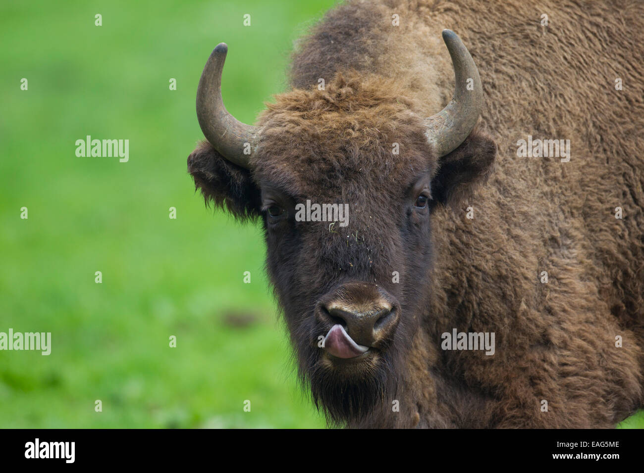 Close up portrait of European bison / wisent (Bison bonasus) licking its nose - Stock Image