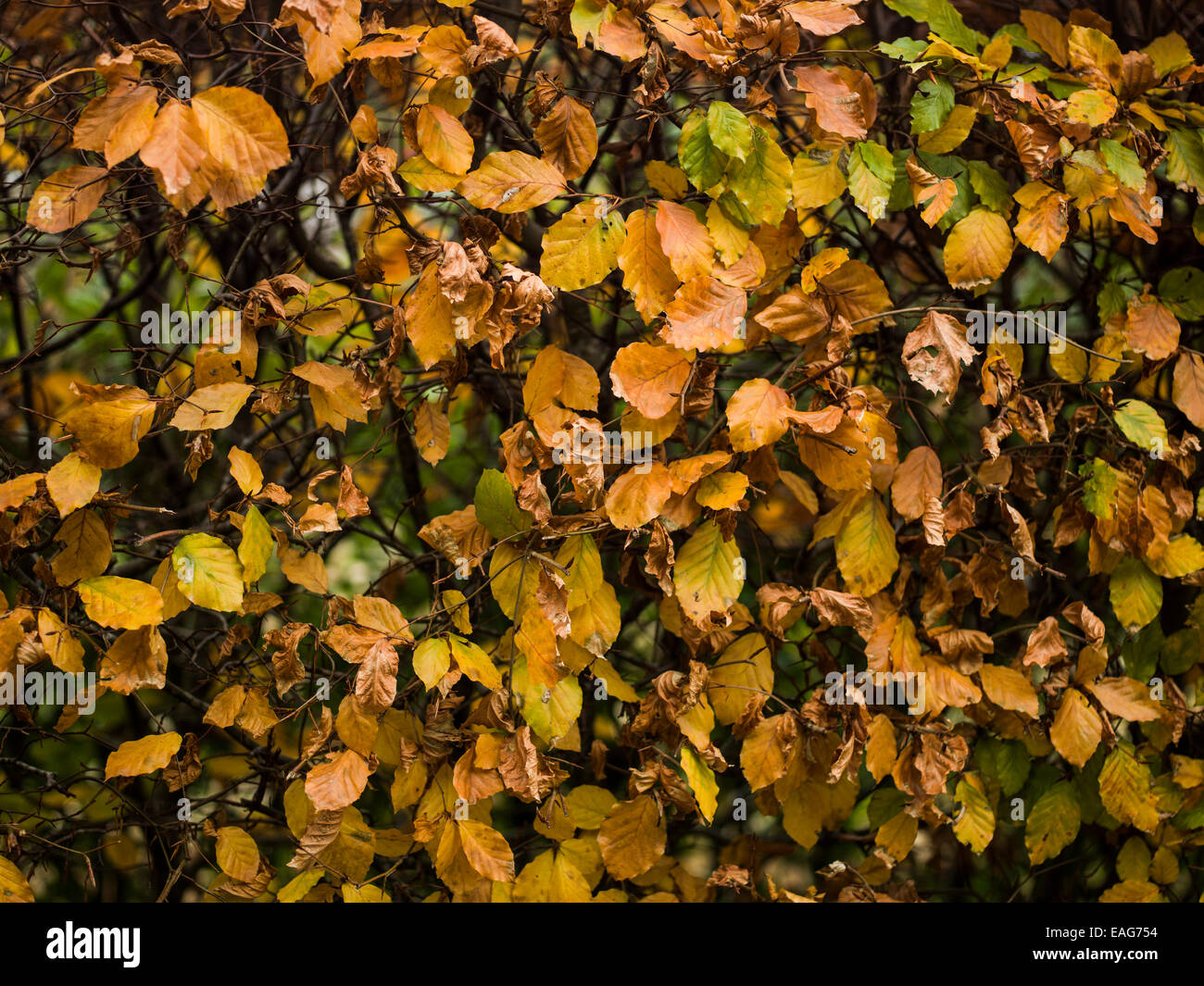 Autumn leaves. - Stock Image