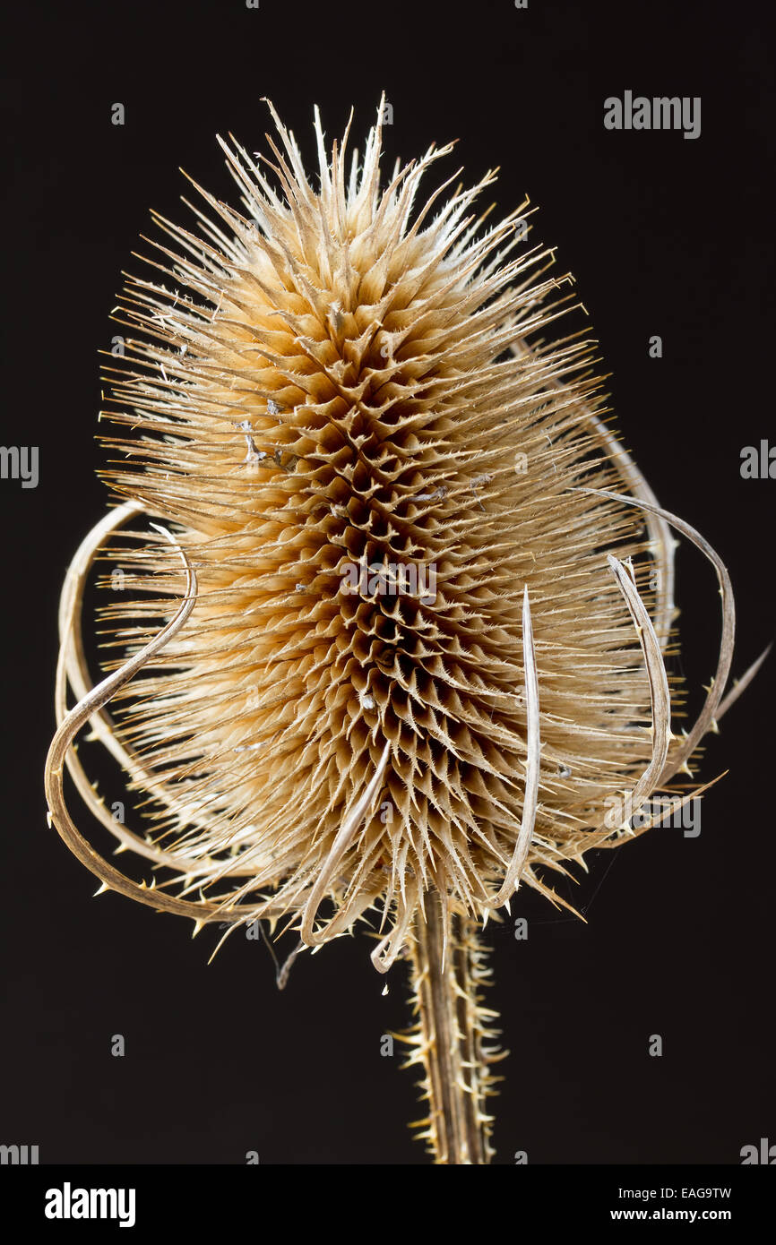 Close up teasel on a black background - Stock Image