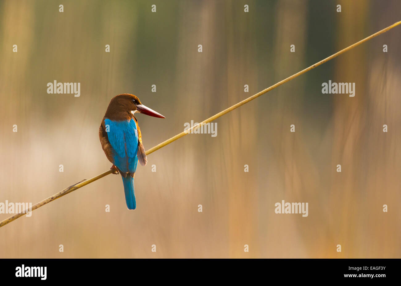 A White-throated Kingfisher (Halcyon smyrnensis) in India's Bandhavgarh National Park. - Stock Image