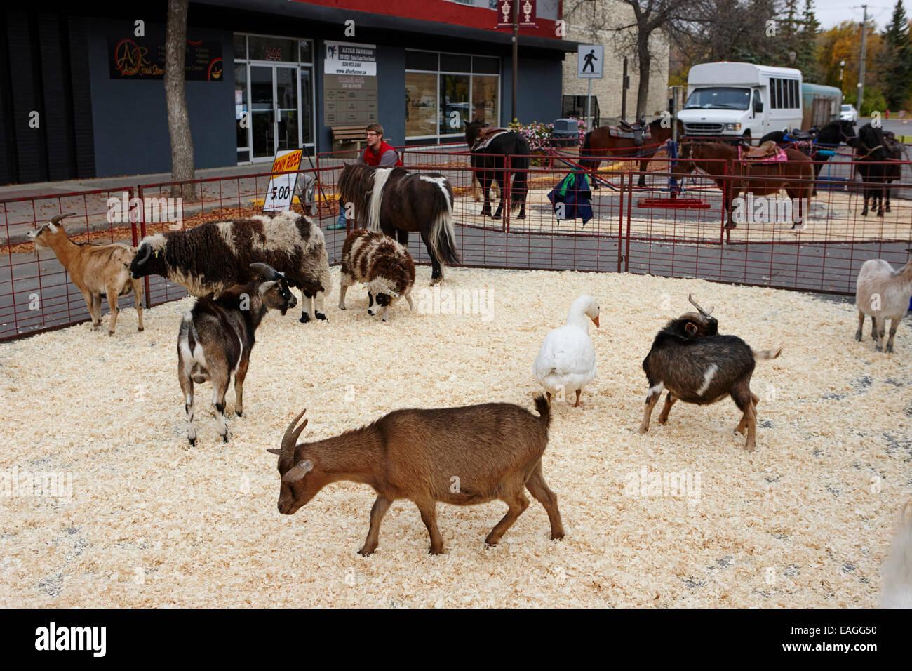 farmyard animals petting zoo at at fair swift current Saskatchewan Canada - Stock Image