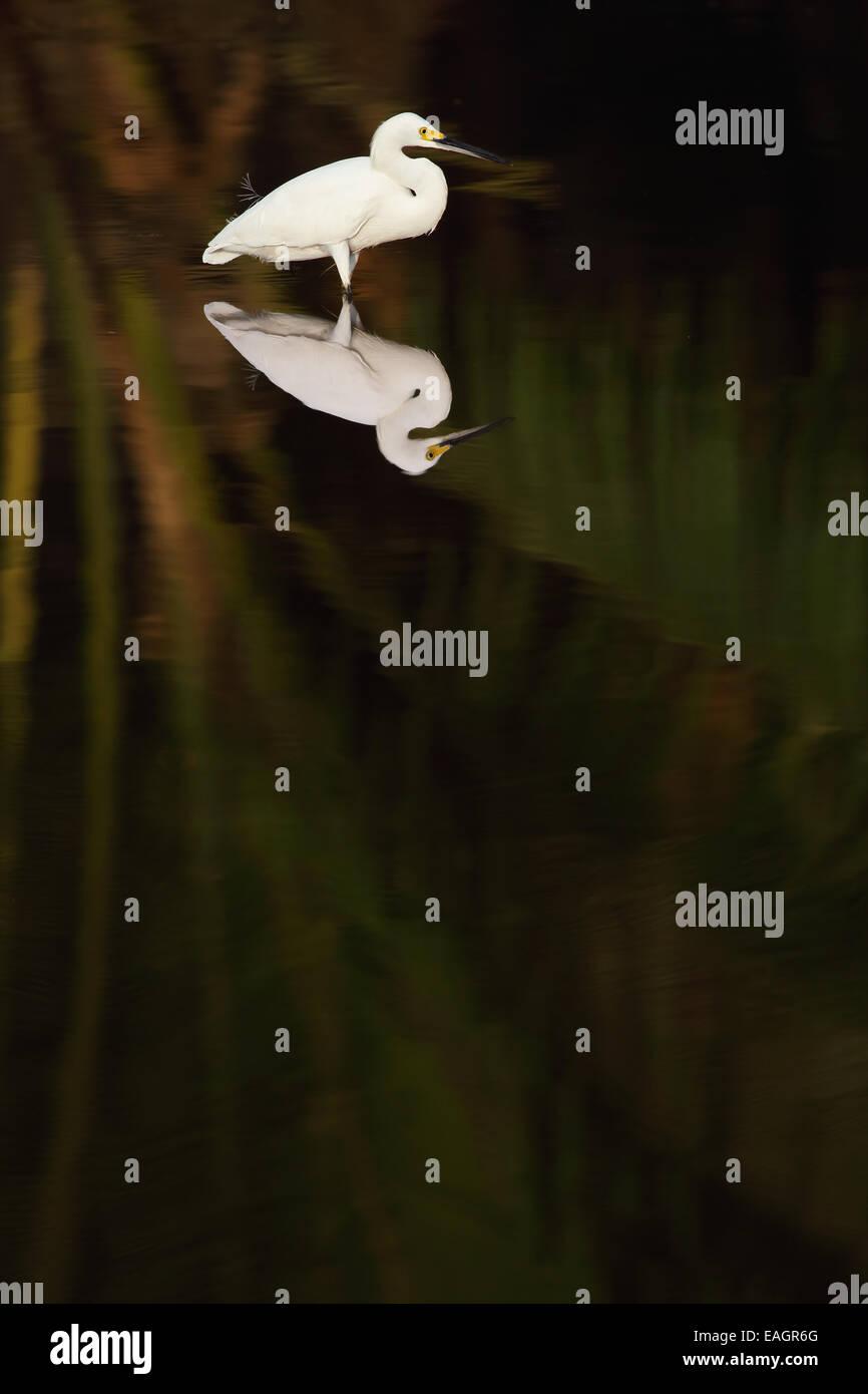 Great egret (Ardea alba) standing in a stream in Guanacaste, Costa Rica, Central America. - Stock Image