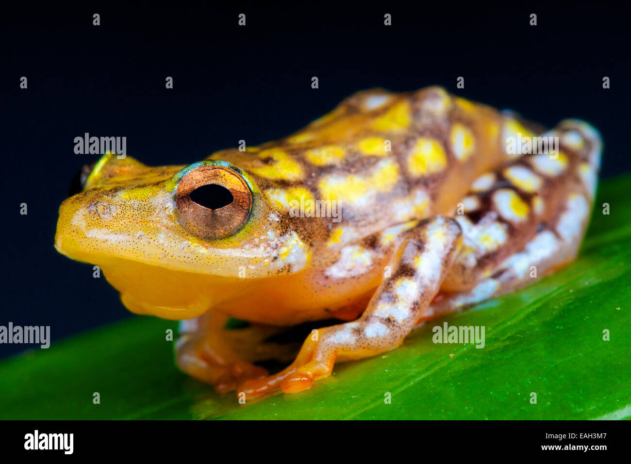 Reed frog (Hyperolius substraitus) Stock Photo