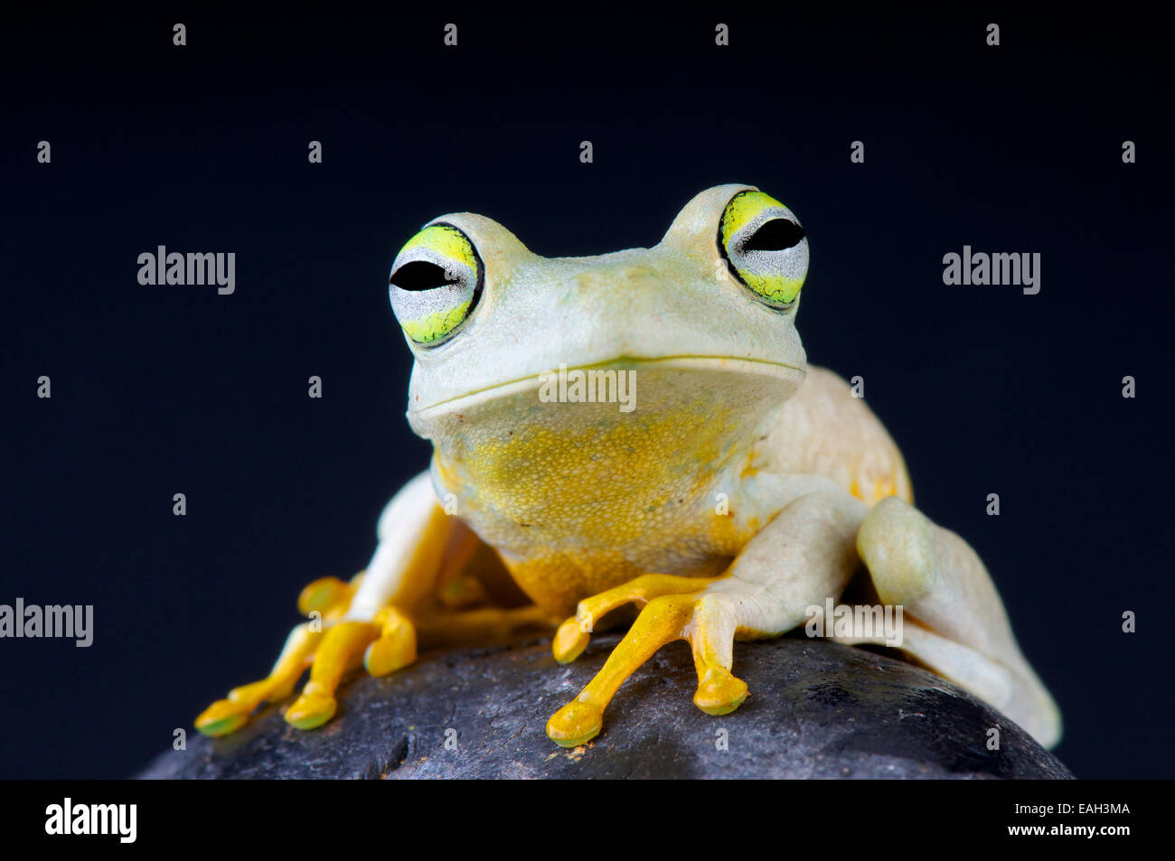 Emerald eyed tree frog / Hypsiboas crepitans - Stock Image