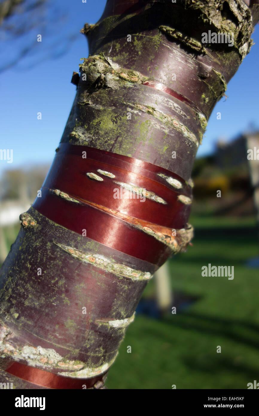 Distinctive peeling red colour bark of the Birch Bark Cherry Tree - Stock Image