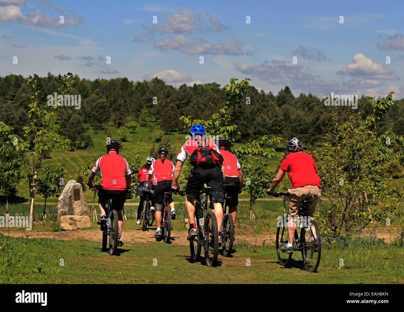 A view from behind of 6 cyclists riding in Bedgebury Forest on a sunny day during a British Heart Foundation staged - Stock Image