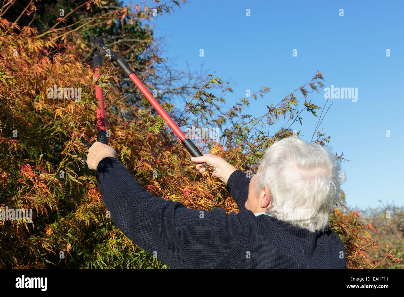 Senior woman gardening using loppers to cut back a garden bush in autumn, a household activity. England, UK, Britain. Stock Photo