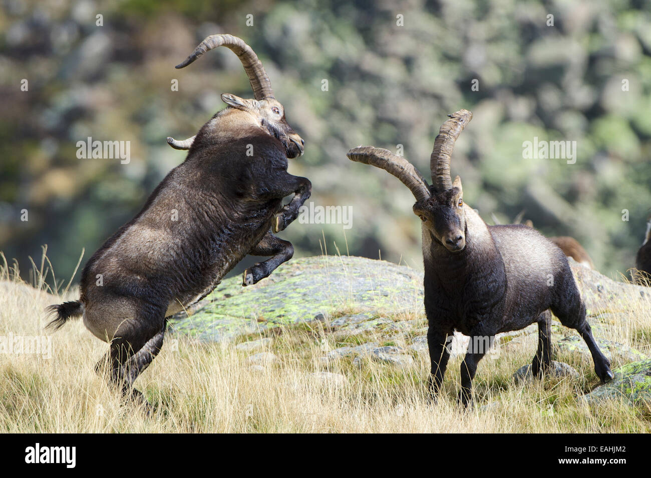 An impressive fight between two fully grown Mountain Goats, or Spanish Ibex, full of tension and violence. Gredos, - Stock Image
