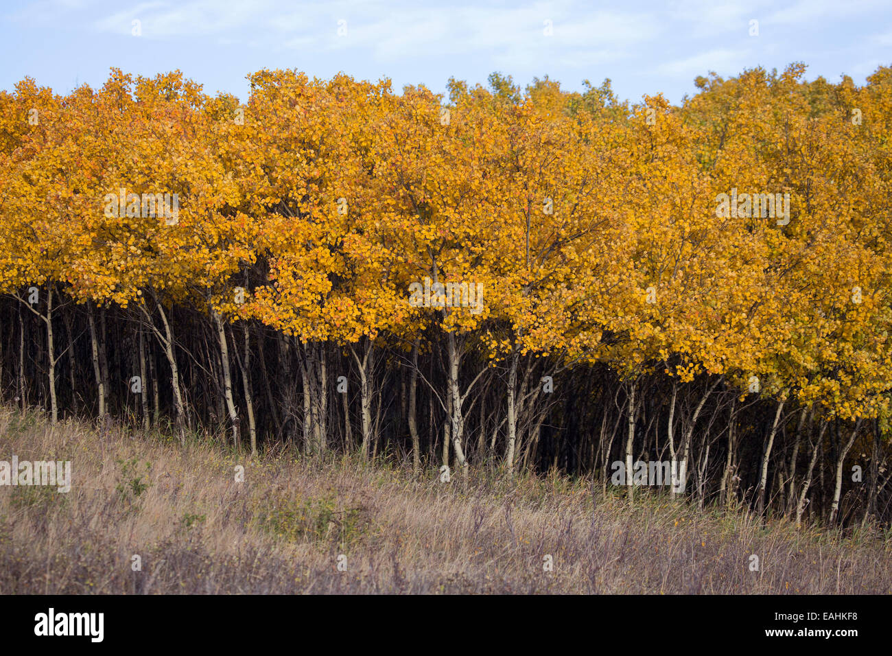 Dense stand of Aspen (Populus tremuloides) saplings in autumn foliage - Stock Image