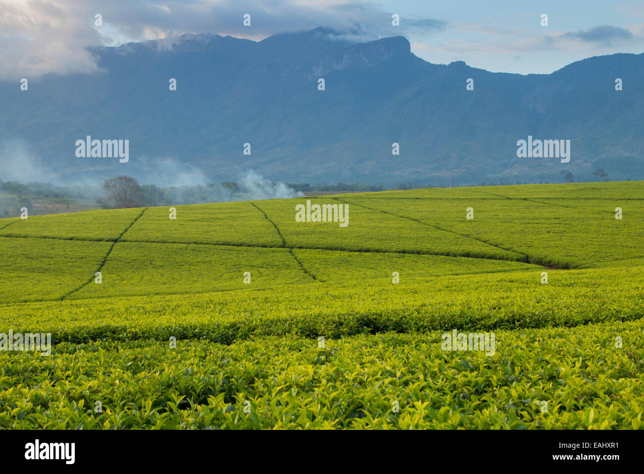 Tea estates at Mount Mulanje, Southern Malawi. - Stock Image