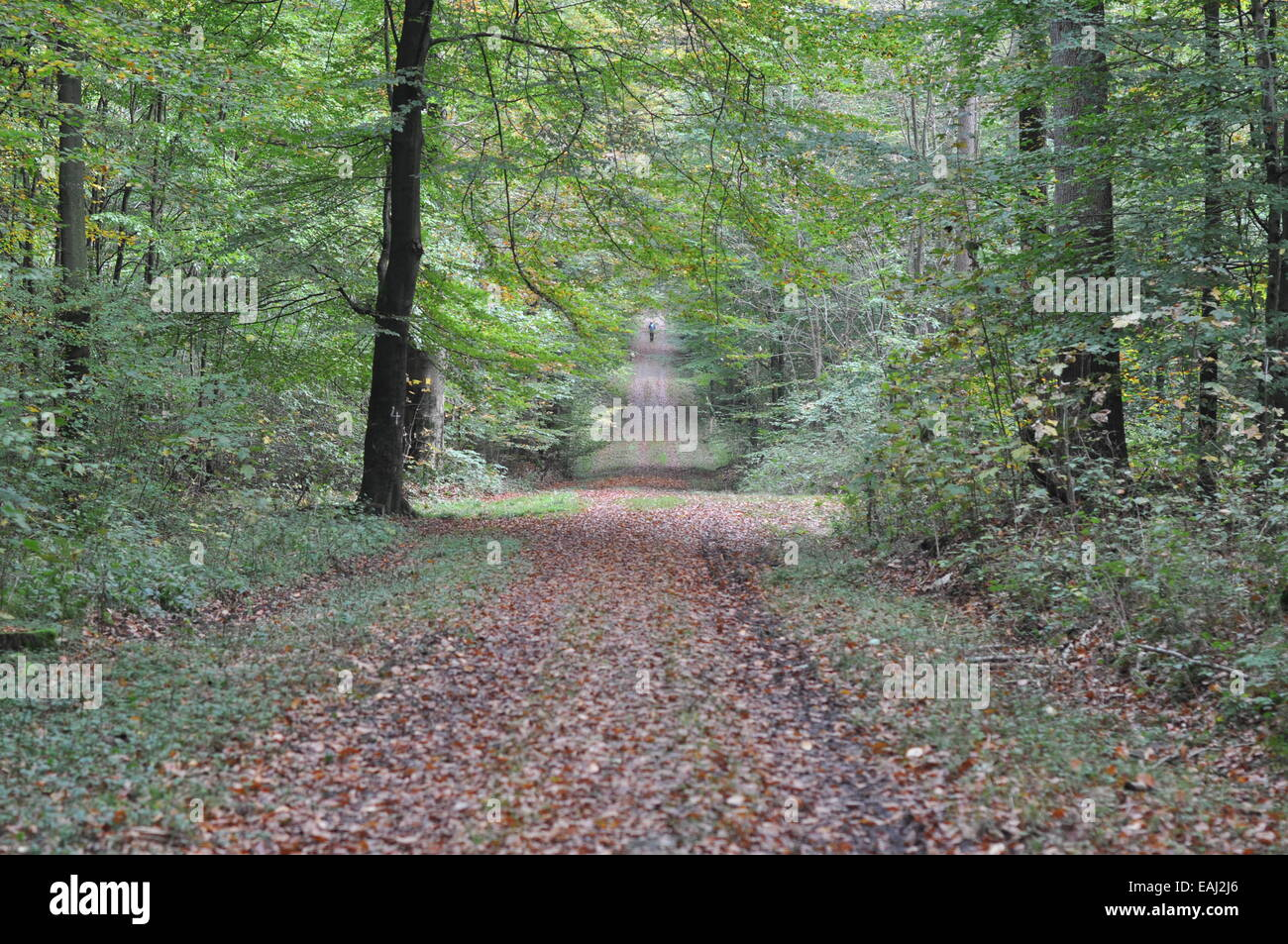 Laub, Laubwald, Herbst, Blätter, autumn, green leaves, wood, forest, path - Stock Image