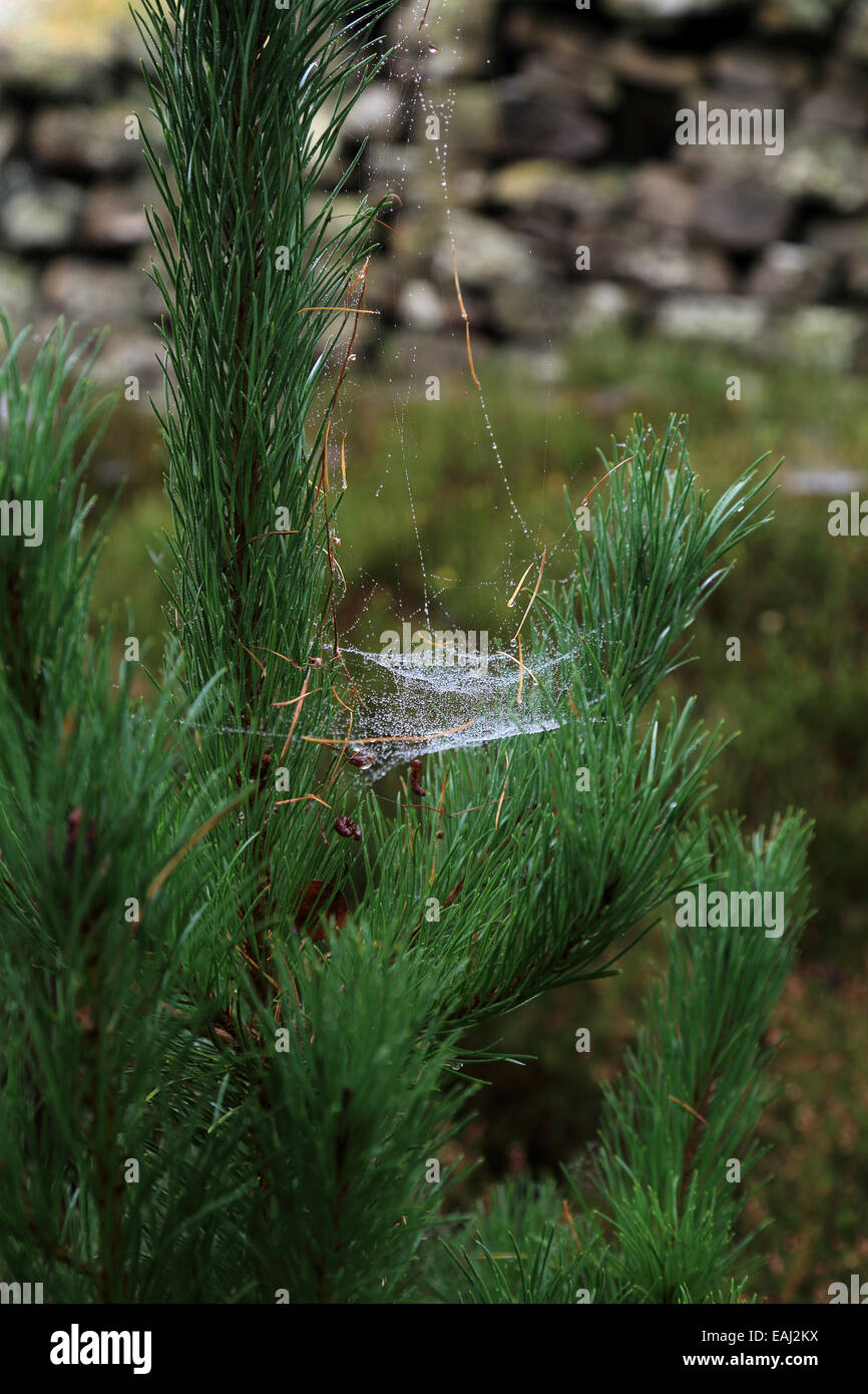 Spiders Web On Pine Tree In Over Silton Woods Hambledon District