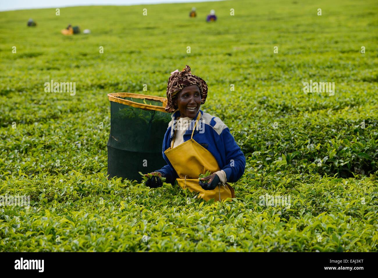 KENYA Kericho, worker pick tea leaves for Lipton tea, tea plantation of Unilever Stock Photo