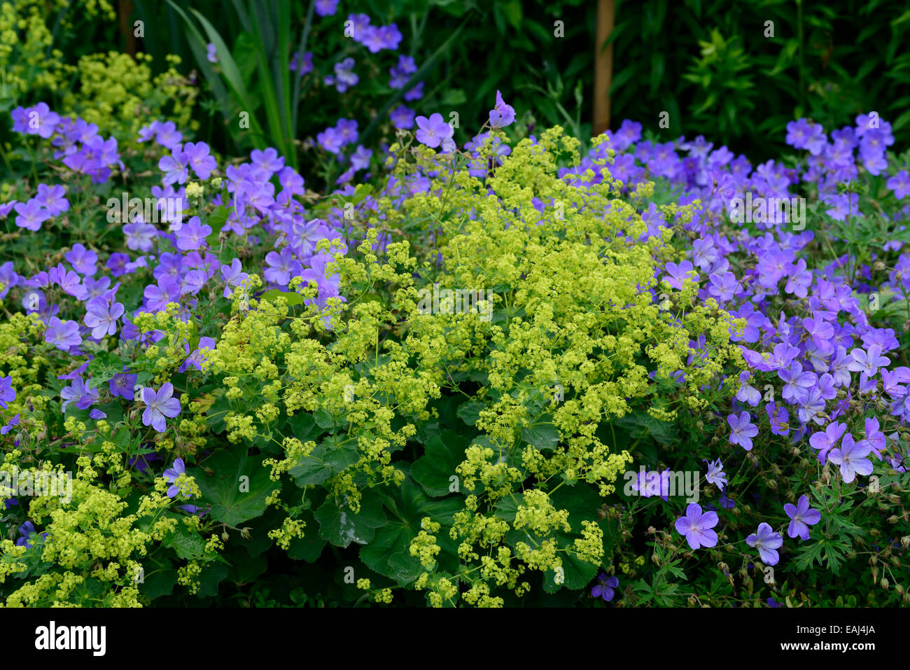 Alchemilla mollis geranium johnsons blue yellow blue flowers flower alchemilla mollis geranium johnsons blue yellow blue flowers flower combination mix mixed planting scheme garden rm floral mightylinksfo