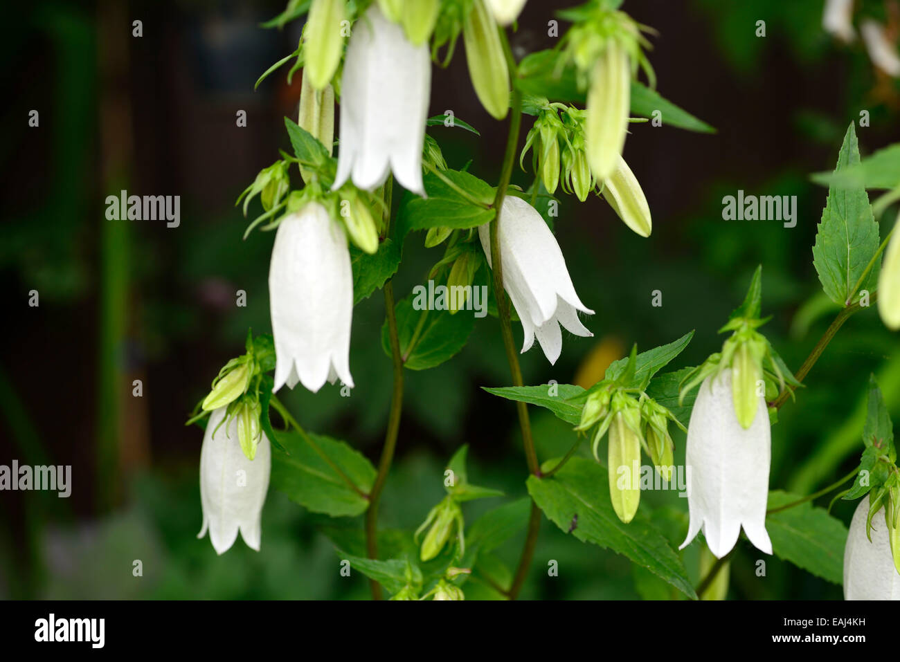 Campanula takesimana stock photos campanula takesimana stock campanula takesimana alba white bellflower flowers bell shaped herbaceous perennial korean bellflowers rm floral stock mightylinksfo