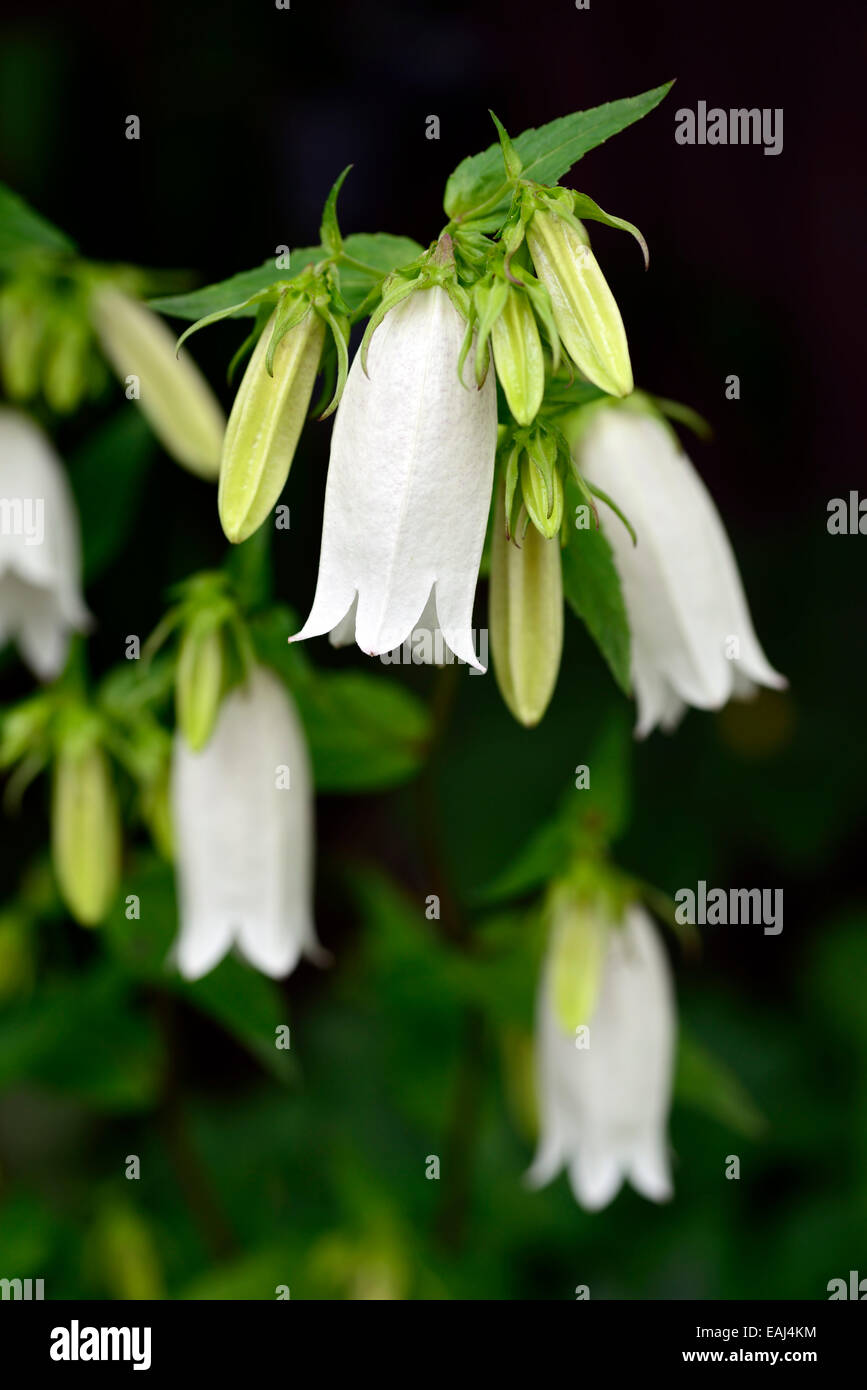 Campanula Takesimana Alba White Bellflower Flowers Bell Shaped Stock