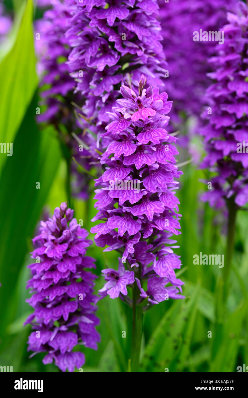 Dactylorhiza X Braunii Purple Flower Flowers Green Foliage Leaves