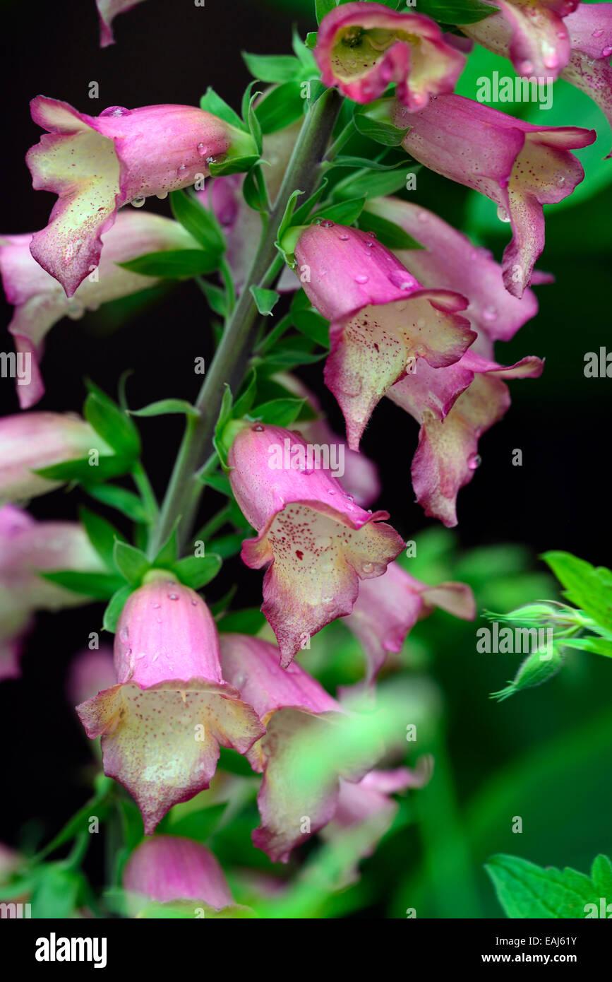 digitalis illumination pink foxgloves foxglove sterile hybrid  hybridisation Isoplexis perennial flower flowers - Stock Image