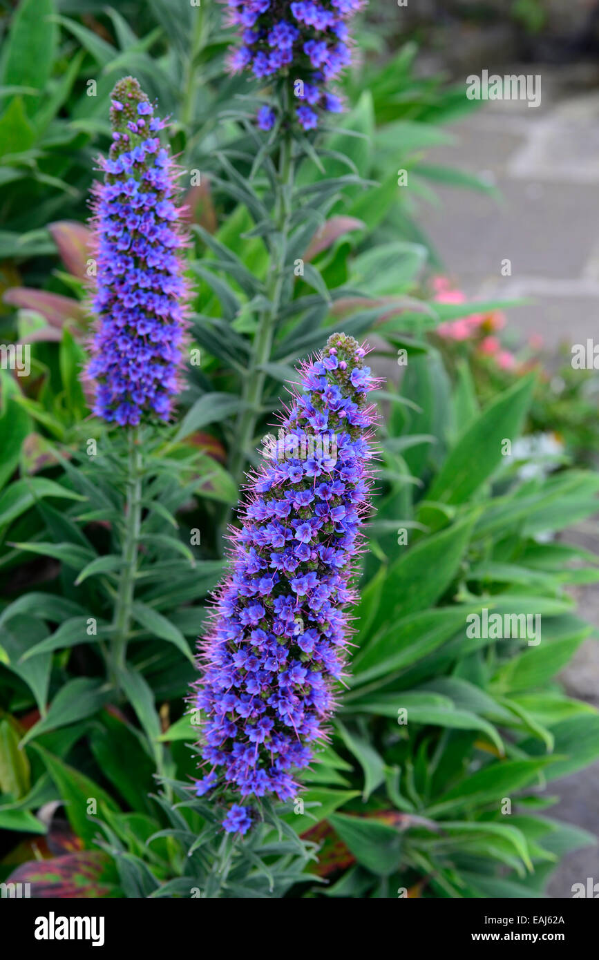 Flowering spikes stock photos flowering spikes stock images alamy echium webbii blue spires spikes flower flowering flowers perennials canary tower of jewels rm floral mightylinksfo