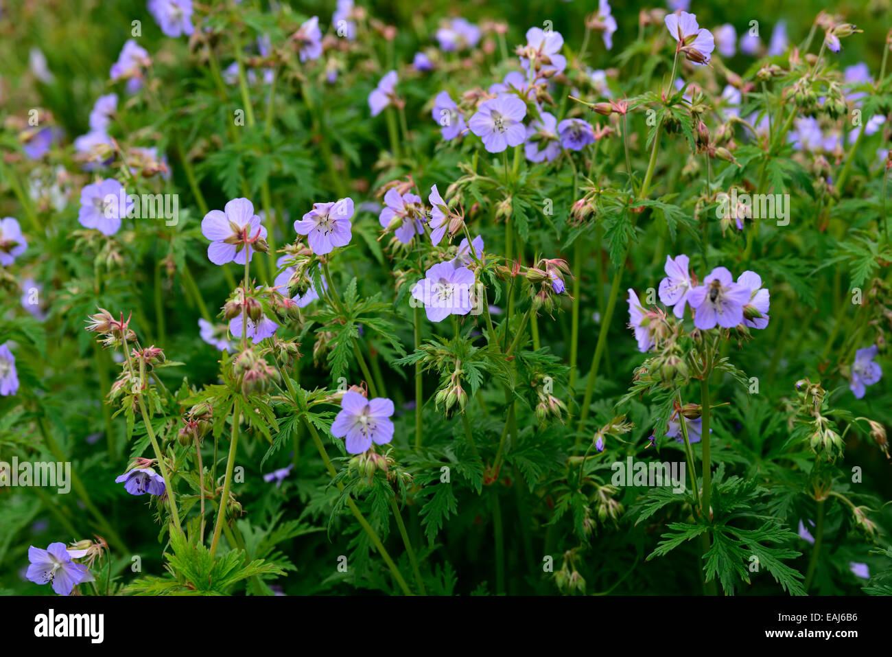 Geranium Pratense Mrs Kendall Clark Blue Flower Flowers Flowering