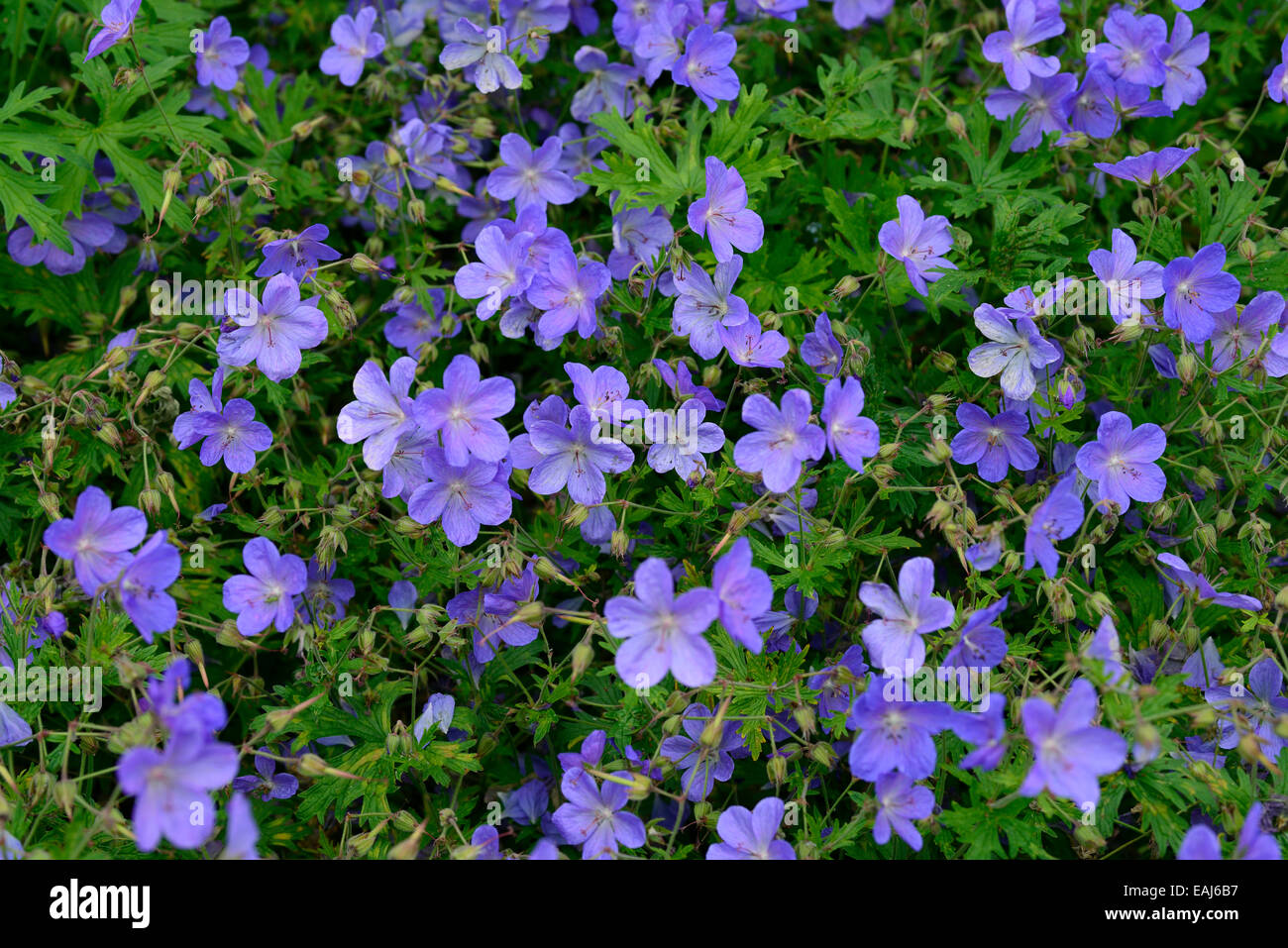 Geranium Pratense Johnsons Blue Flower Flowers Flowering Perennial