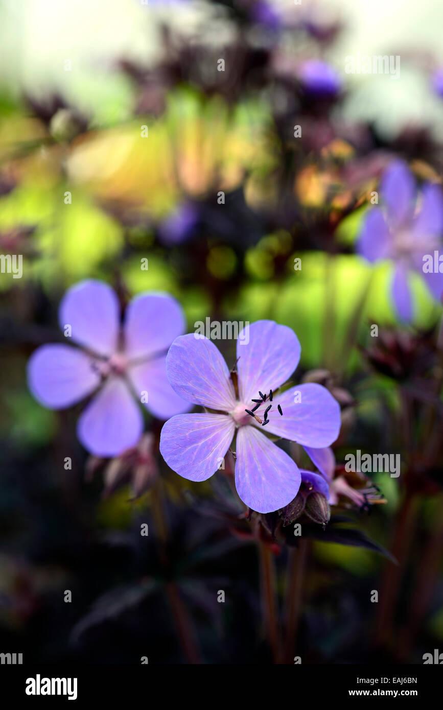 Geranium pratense midnight reiter blue flower flowering flowers dark geranium pratense midnight reiter blue flower flowering flowers dark foliage perennials dark purple leaves contrast rm floral izmirmasajfo