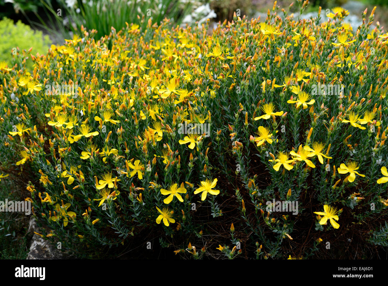 Hypericum Olympicum Yellow Flower Flowers Flowering St Johns Wort