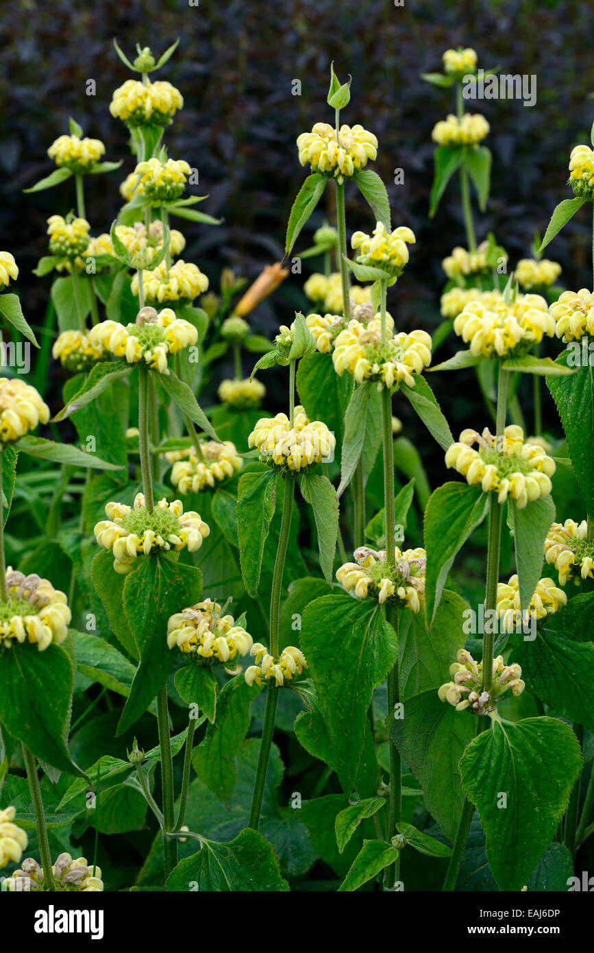 Yellow sage stock photos yellow sage stock images alamy jerusalem sage phlomis fruticosa yellow flowers flower flowering plant perennial architectural structure garden stock image mightylinksfo