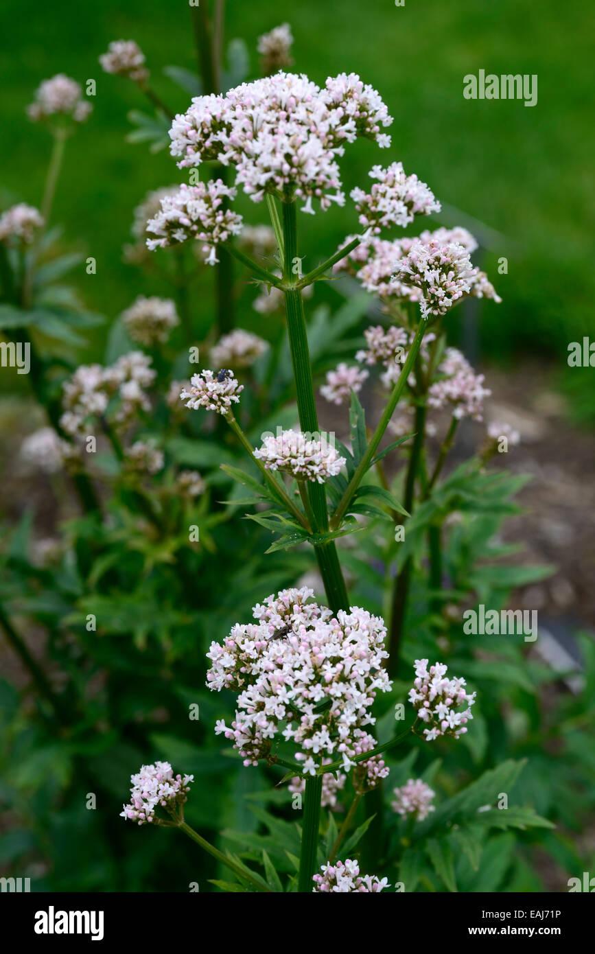 Patrinia Villosa White Flowers Bai Jiang Cao Medicinal Herb Stock