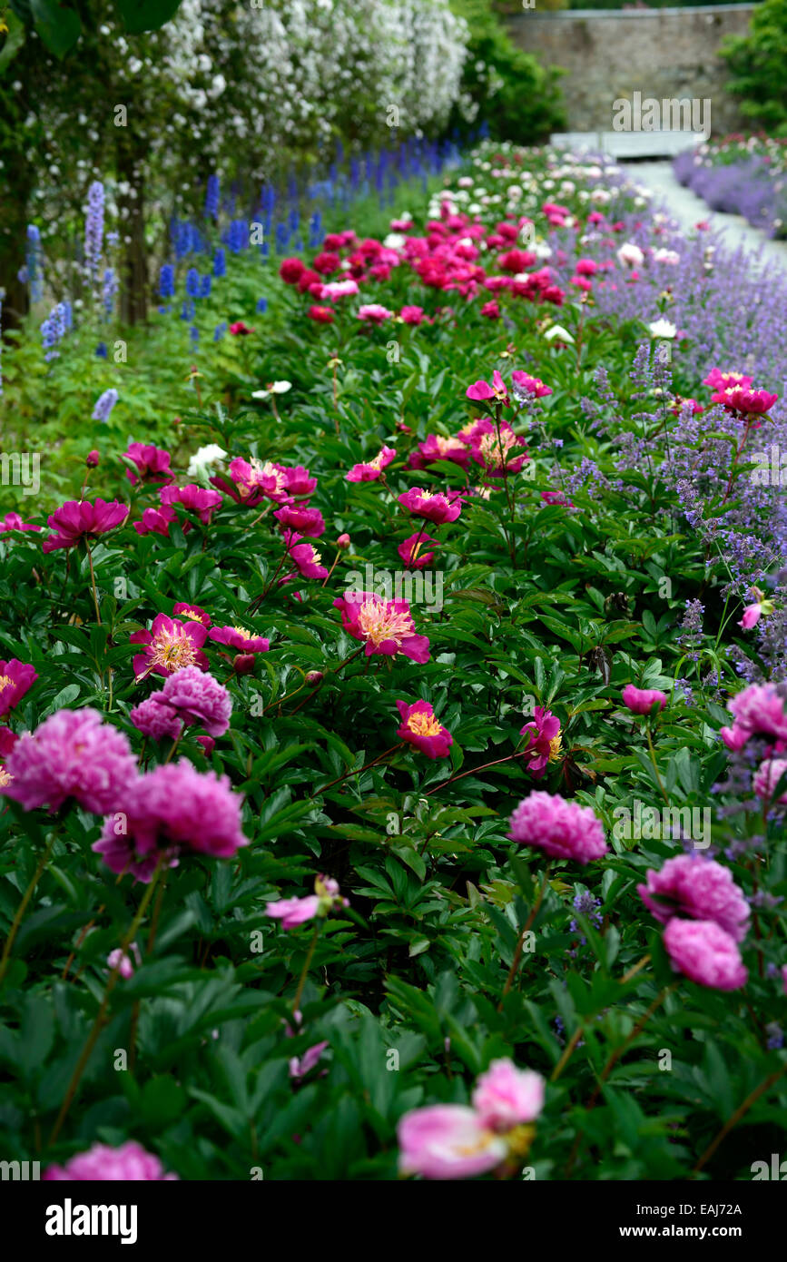 Peony Peonies Mixed Mix Flower Bed Border Herbaceous Perennial Stock