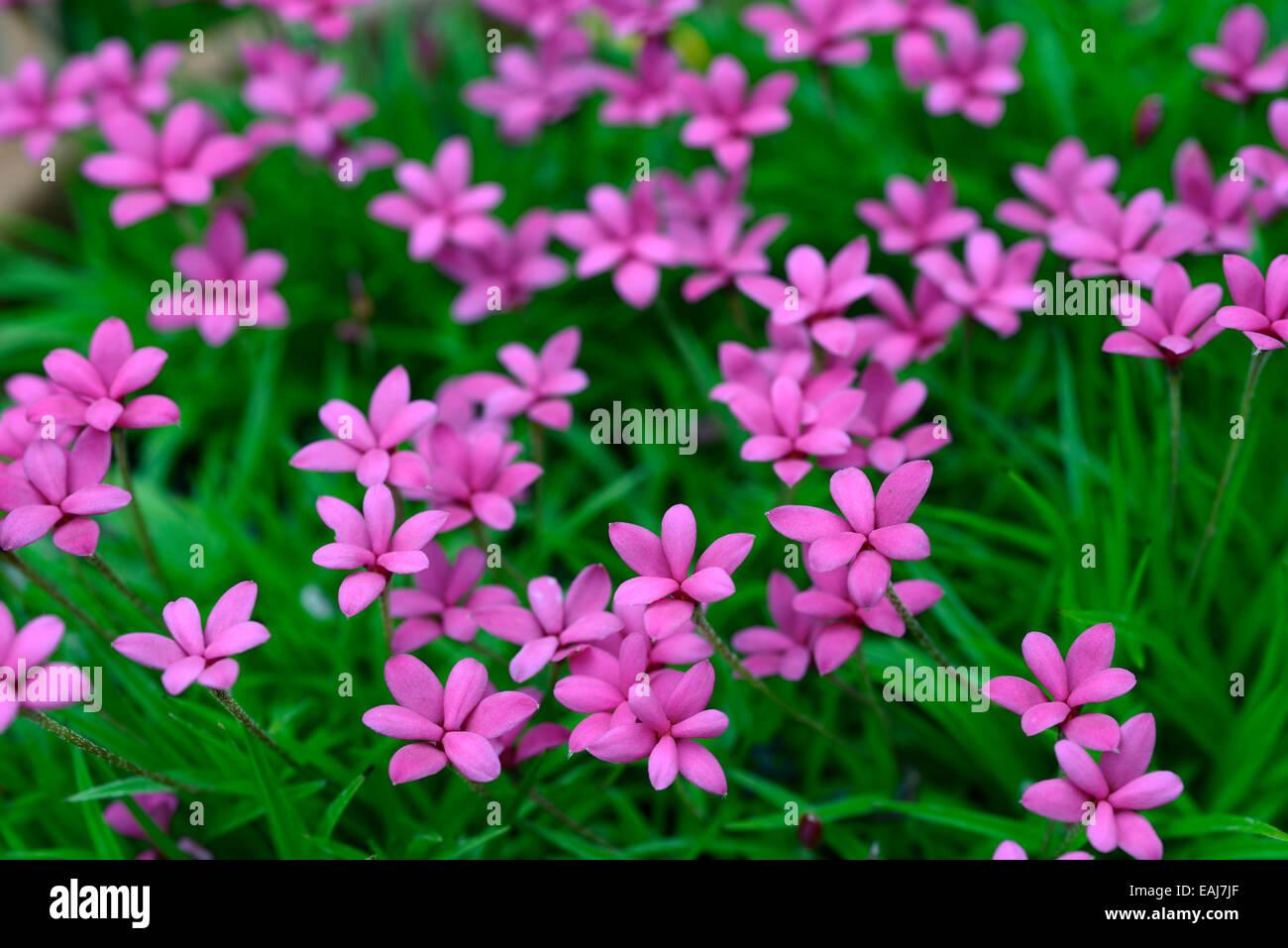 Pink Flowered Rhodohypoxis Milloides Venetian Flower Bloom Blossom