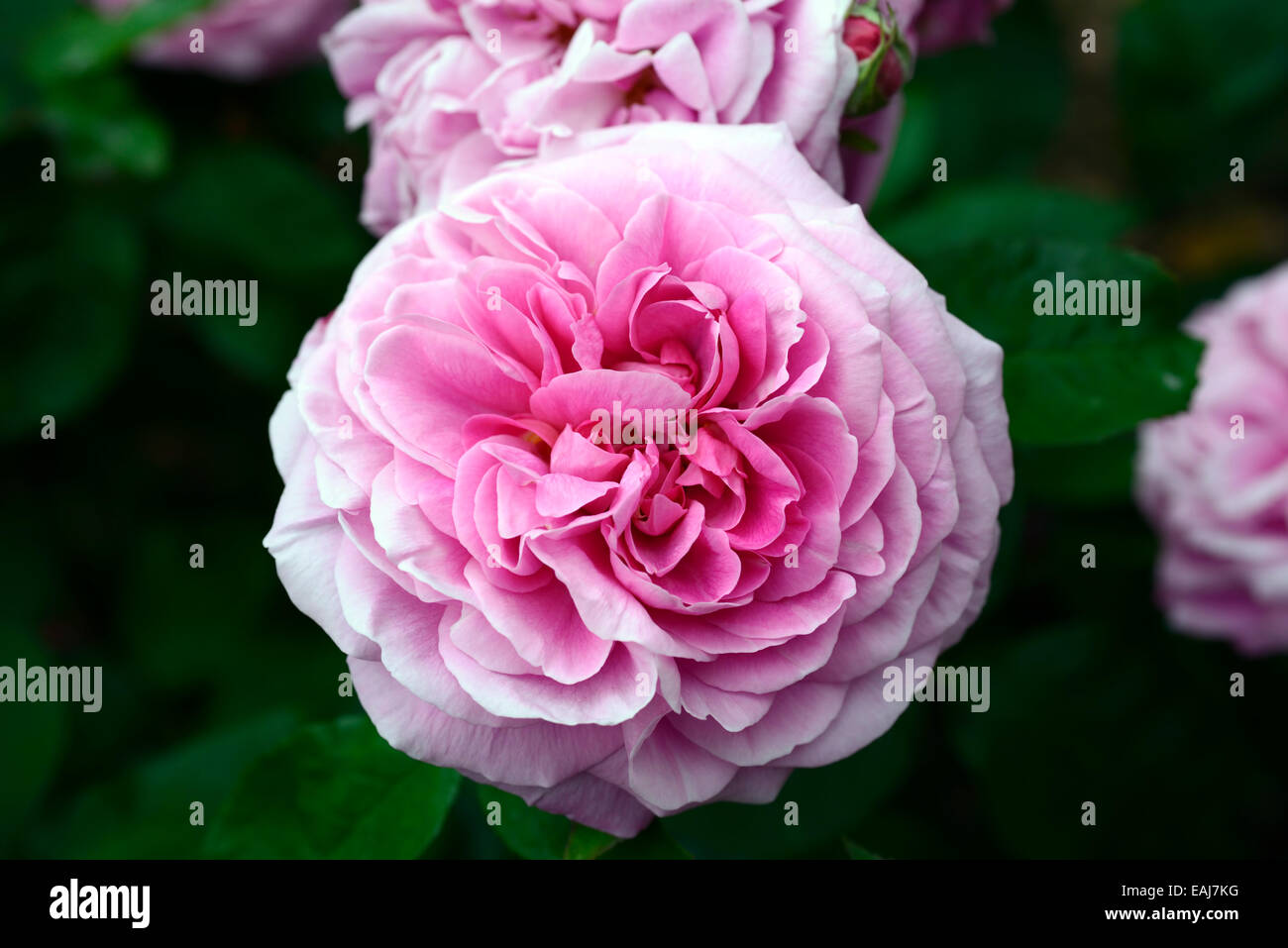 Rosa gertrude jekyll ausbord rose flower pink flowering flowers rosa gertrude jekyll ausbord rose flower pink flowering flowers fragrant scented climbing climber shrub shrubs rm floral mightylinksfo