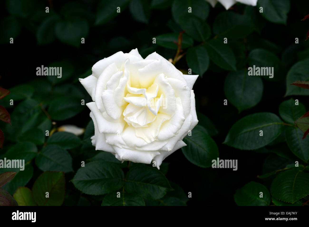 Rosa Ice Cream Rose Flower White Flowering Flowers Fragrant Scented