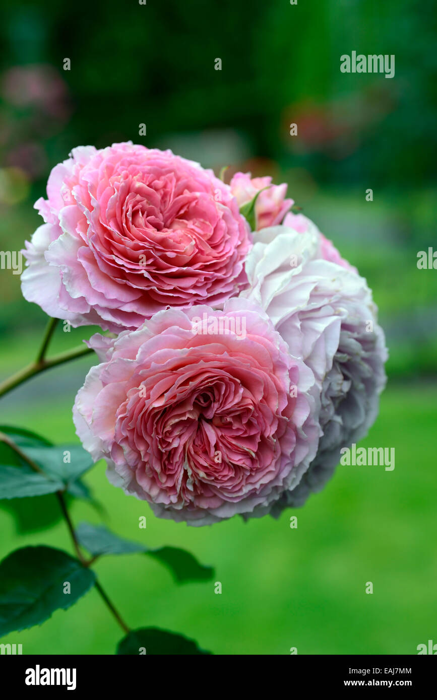 Rosa james galway auscrystal rose flower pink climber climbing stock rosa james galway auscrystal rose flower pink climber climbing flowering flowers fragrant scented rm floral mightylinksfo