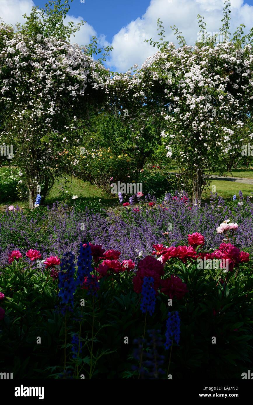 rosa paul's himalayan musk rose flower white climber shrub shrubs flowering flowers RM Floral border delphinium - Stock Image