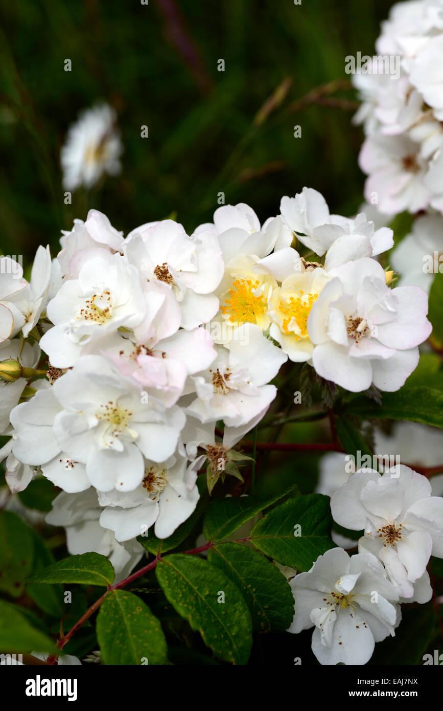 rosa rambling rector rose flower white rambler climber shrub shrubs color colours flowering flowers fragrant scented Stock Photo