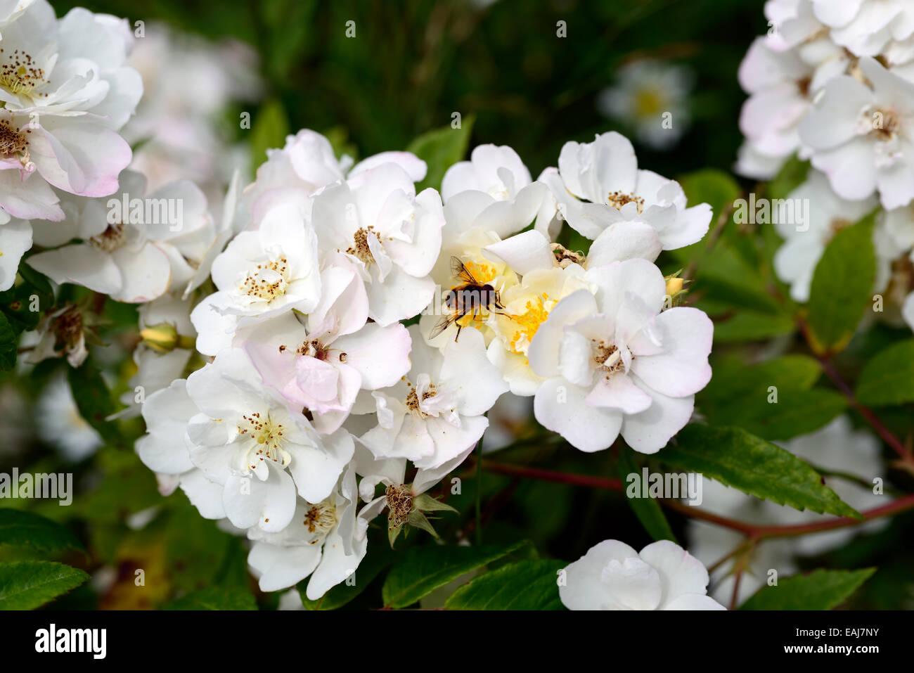 Rosa Rambling Rector Rose Flower White Rambler Climber Shrub Shrubs