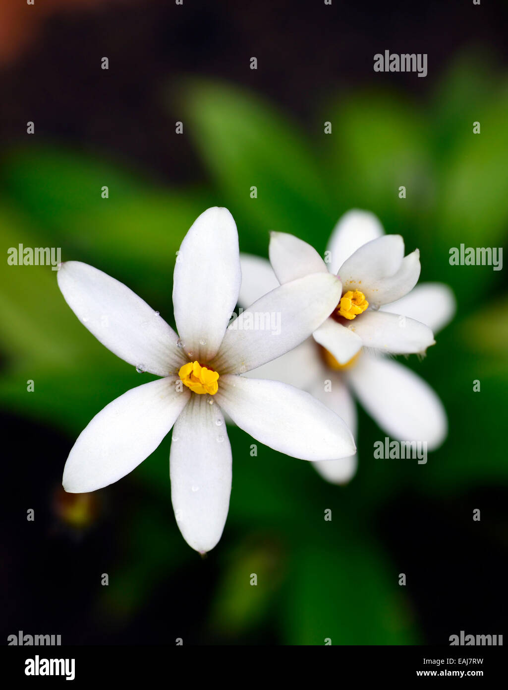 X Rhodoxis Hybrida Hebron Farm Biscuit Hybrid White Flower Flowers