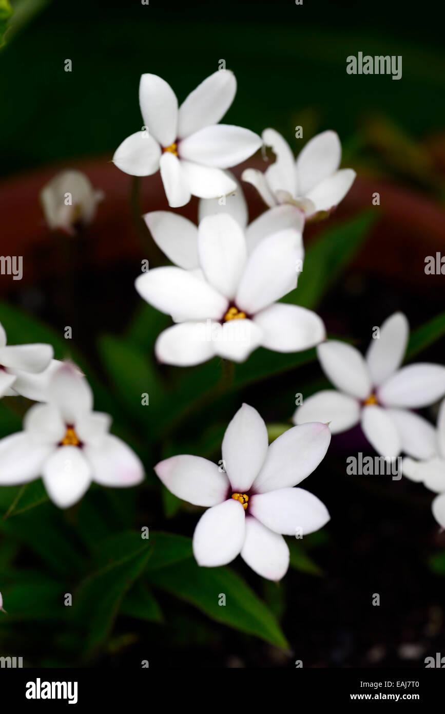 X Rhodoxis Hybrida Hebron Farm Red Eye Hybrid White Flower Flowers