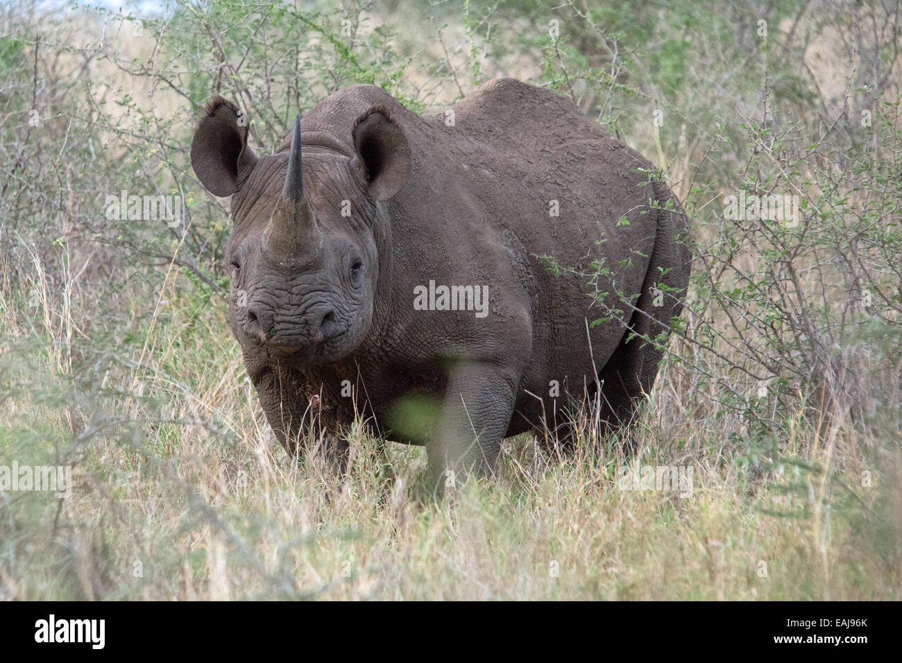 Charge, Black rhino - Stock Image