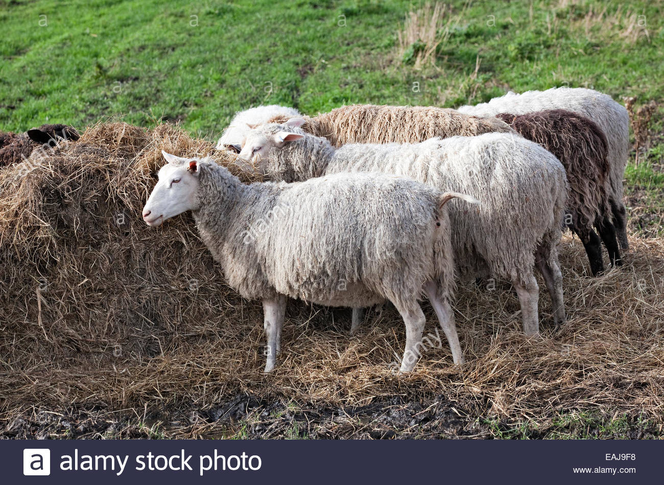 Feeding sheep in Finland - Stock Image