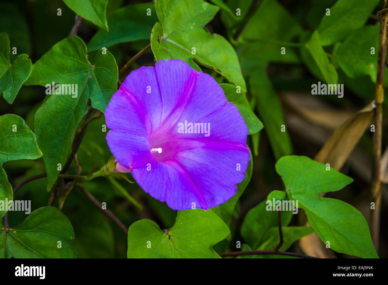 Closeup of a morning glory flower in the everglades along the Anhinga Trail in Everglades National Park, Florida, - Stock Image