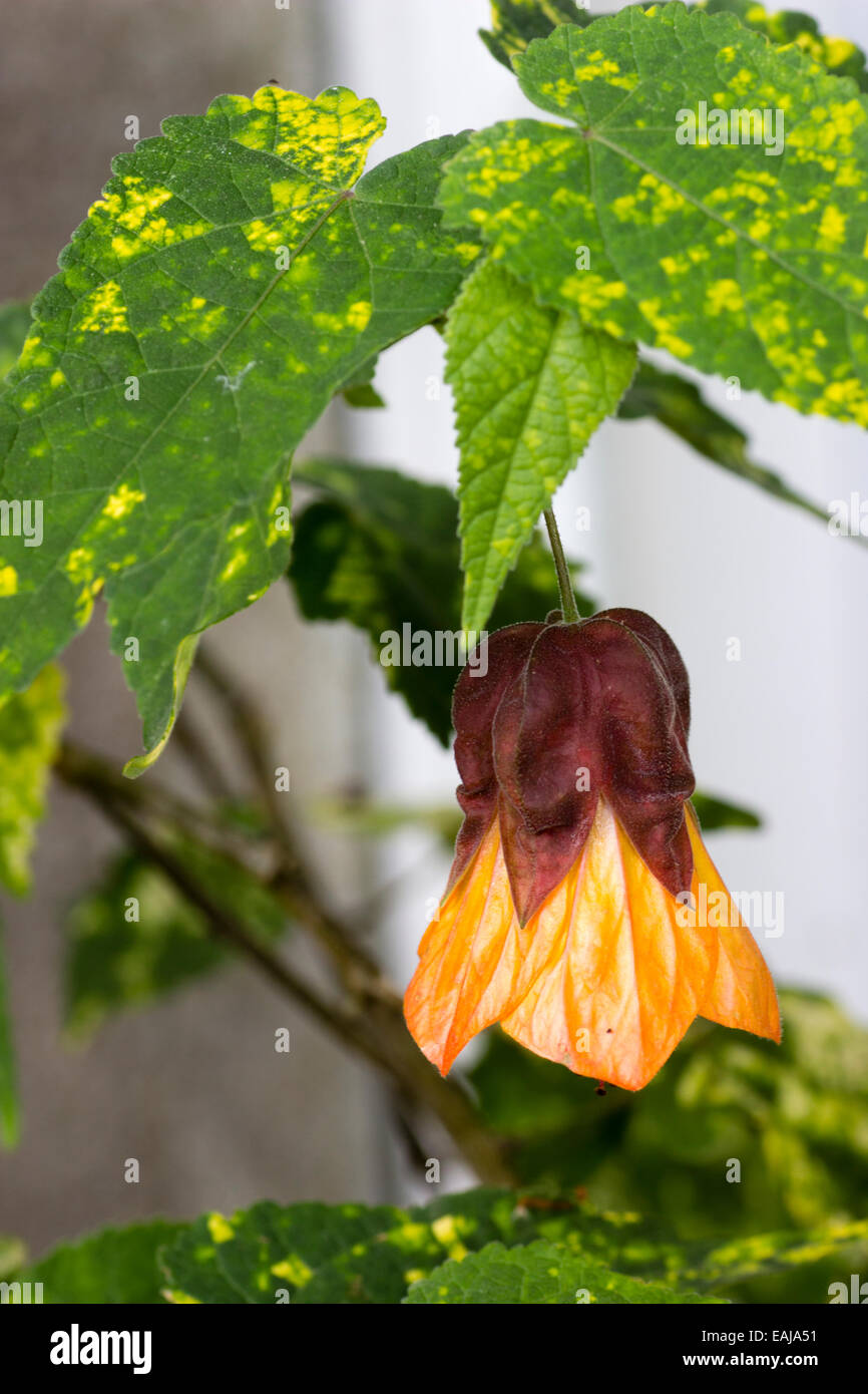 Bell like flower and yellow splashed leaves of Abutilon x milleri 'Variegatum' - Stock Image