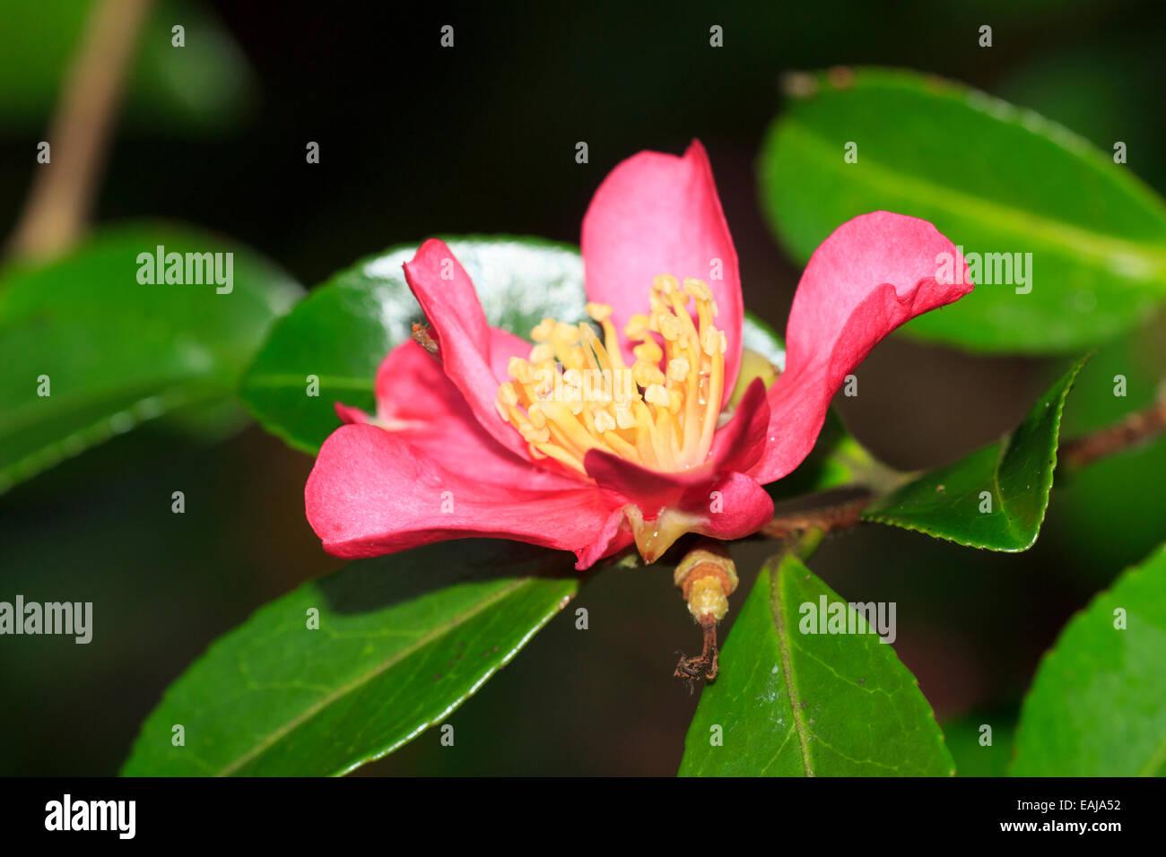 Single red autumn bloom of Camellia sasanqua 'Crimson King' - Stock Image