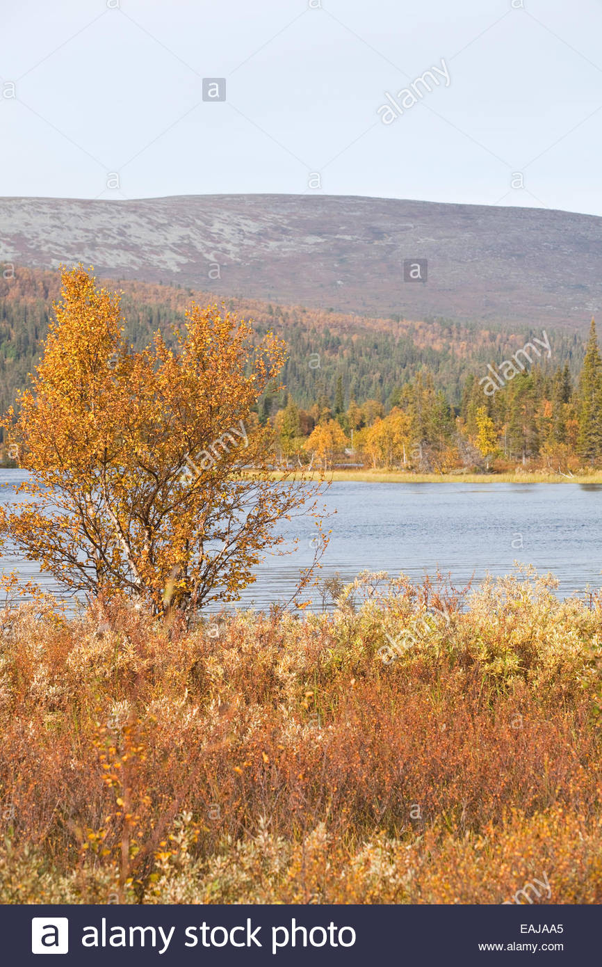 Beautiful fall colors in Finnish Lapland - Stock Image