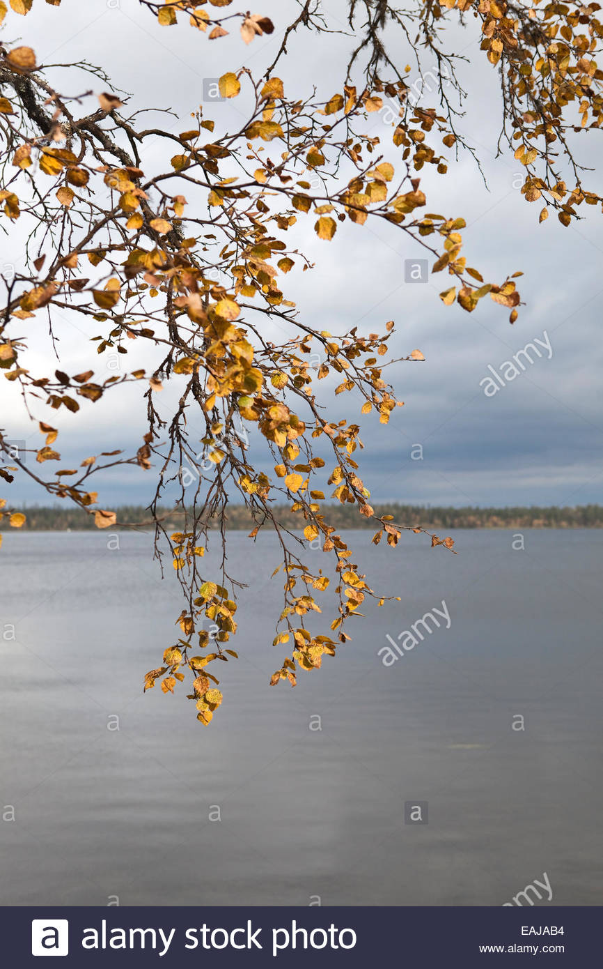 Birch by a lake in Finnish Lapland - Stock Image