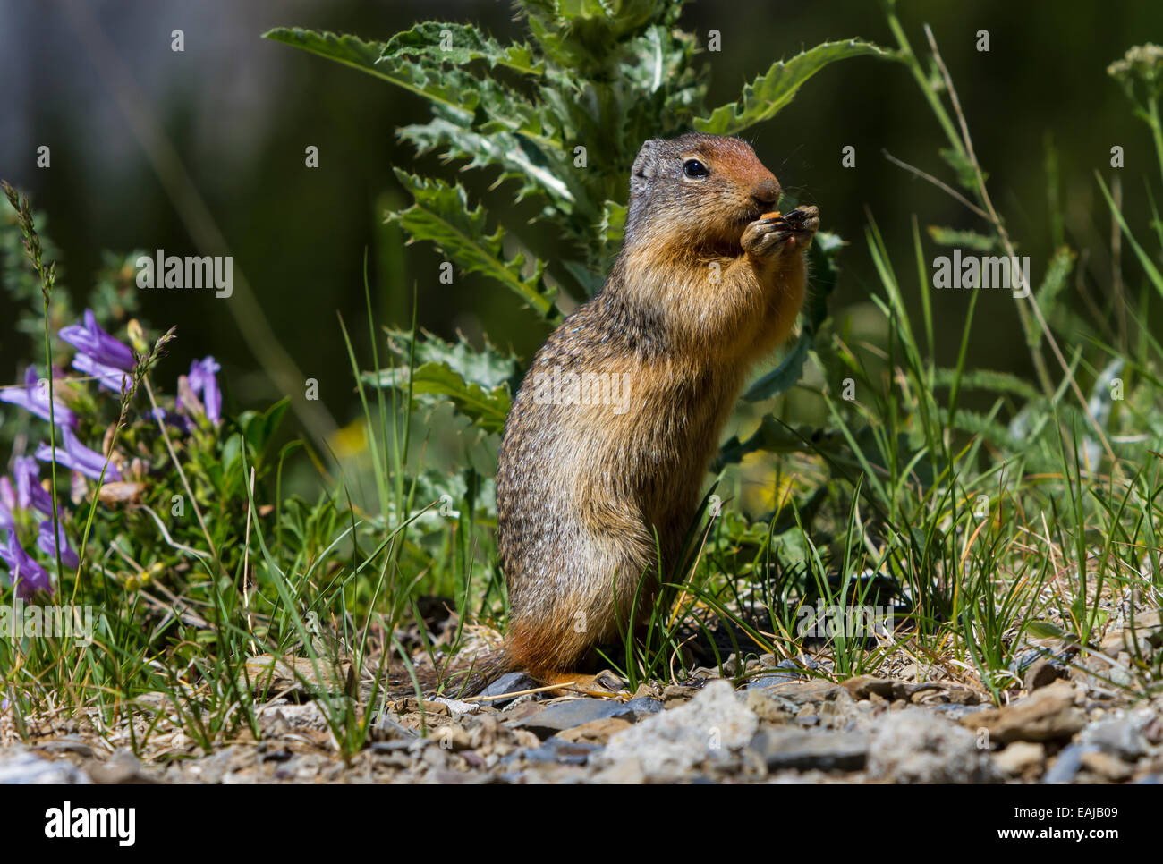 A Columbian Ground Squirrel in Glacier National Park, Montana, USA. Stock Photo