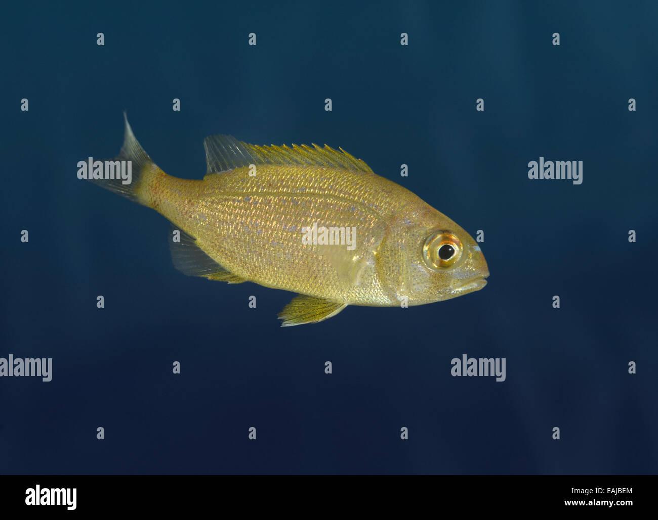 Couch's Sea Bream - Pagrus pagrus Stock Photo
